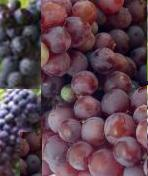 Red grapes_combo